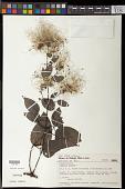 view Clematis affinis A. St.-Hil. digital asset number 1