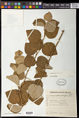 view Cissampelos ovalifolia DC. digital asset number 1