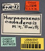 view Harpagoxenus canadensis Smith, 1939 digital asset number 1