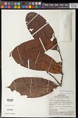 view Guatteria blepharophylla Mart. digital asset number 1