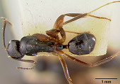 view Camponotus (Myrmogonia) schmeltzii var. loloma Mann, 1921 digital asset number 1