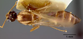 view Camponotus (Colobopsis) maudella Mann, 1921 digital asset number 1