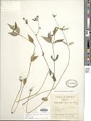 view Melampodium divaricatum (Rich.) DC. digital asset number 1