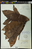 view Guatteria punctata (Aubl.) R.A. Howard digital asset number 1