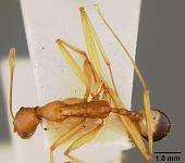 view Aphaenogaster (Deromyrma) phillipsi digital asset number 1