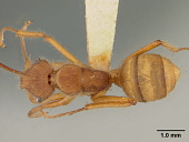 view Dendromyrmex chartifex mamoreensis Mann, 1916 digital asset number 1