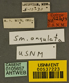 view Strumigenys angulata Smith, 1931 digital asset number 1