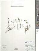 view Vasquesia oppositifolia digital asset number 1