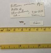 view Bittium varium Pfeiffer, 1840 digital asset number 1