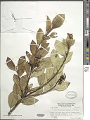 view Calea tricephala Maguire digital asset number 1