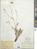 view Hymenopappus radiatus Rose digital asset number 1