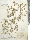view Flaveria bidentis (L.) Kuntze digital asset number 1