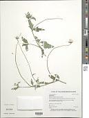 view Tridax procumbens L. digital asset number 1