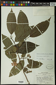 view Annona mucosa Jacq. digital asset number 1