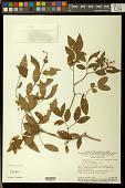 view Heteropterys confertiflora A. Juss. digital asset number 1