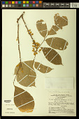 view Trichilia pallida Sw. digital asset number 1
