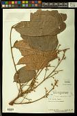 view Trichilia septentrionalis C. DC. digital asset number 1