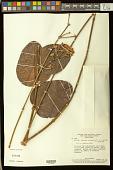 view Peixotoa reticulata digital asset number 1