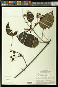 view Stigmaphyllon cardiophyllum A. Juss. digital asset number 1