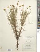 view Helenium amarum (Raf.) H. Rock digital asset number 1