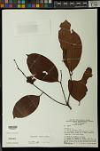 view Heisteria ovata Benth. digital asset number 1
