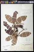 view Endlicheria arenosa Chanderb. digital asset number 1