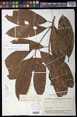 view Endlicheria formosa A.C. Sm. digital asset number 1