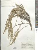 view Artemisia arbuscula Nutt. digital asset number 1