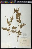 view Rubus rosifolius Sm. digital asset number 1