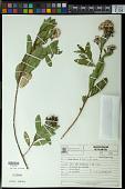 view Escallonia bifida Link & Otto digital asset number 1