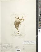 view Thymophylla pentachaeta var. belenidium (DC.) Strother digital asset number 1