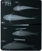 view Potamosilurus latirostris digital asset number 1