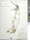 view Chaenactis douglasii Hook. & Arn. digital asset number 1