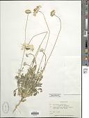 view Gaillardia pinnatifida Torr. digital asset number 1