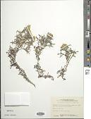 view Eriophyllum confertiflorum (DC.) A. Gray digital asset number 1