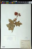 view Rosa multiflora Thunb. digital asset number 1