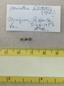 view Menetus (Micromenetus) dilatatus digital asset number 1