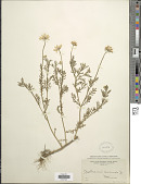 view Anthemis arvensis L. digital asset number 1