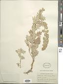 view Artemisia stelleriana Besser digital asset number 1