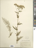 view Achillea millefolium L. digital asset number 1