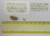 view Volsella demissus digital asset number 1