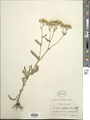view Achillea lanulosa Nutt. digital asset number 1