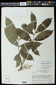 view Talisia clathrata subsp. canescens Acev.-Rodr. digital asset number 1