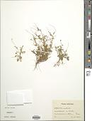 view Cotula australis (Sieber ex Spreng.) Hook. f. digital asset number 1