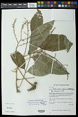 view Pentascyphus thyrsiflorus Radlk. digital asset number 1