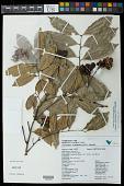 view Cupania racemosa (Vell.) Radlk. digital asset number 1