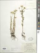 view Tripleurospermum perforatum (Mérat) Laínz digital asset number 1