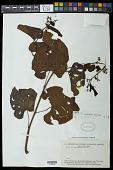 view Cissus guyanensis Desc. digital asset number 1
