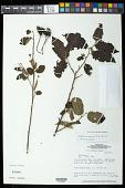 view Helicteres guazumifolia Kunth digital asset number 1