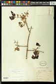 view Callisthene fasciculata Mart. digital asset number 1